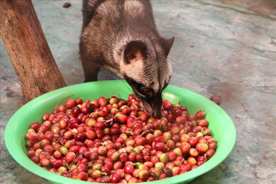 القهوة من فضلات القط